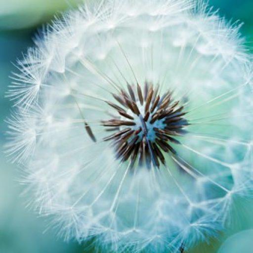 cropped-dandelion-1.jpg